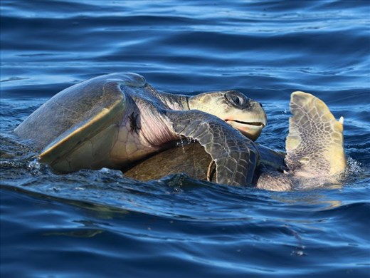 Rated X—Ridley Green Sea Turtles mating