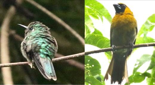 Emerald-chinned Hummingbird and Black-faced Grosbeak