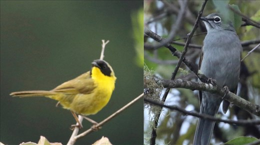 Hooded Yellowthroat and Brown-backed Solitaire, San Jose del Pacifico