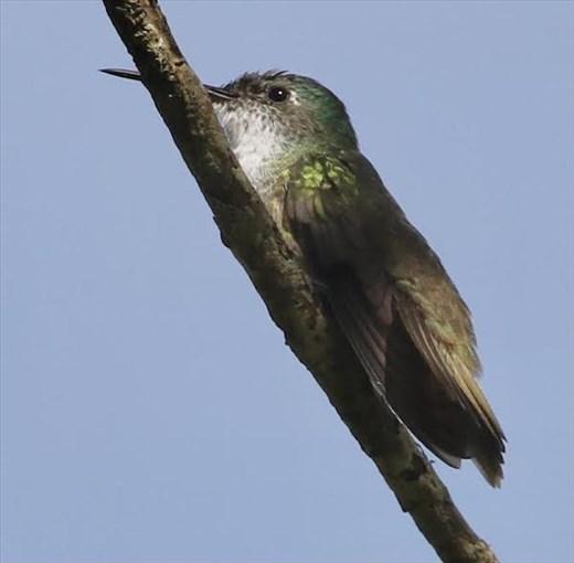Azure-crowned Hummingbird, Tenam Puente