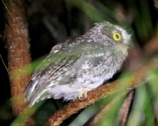 Bearded Screech Owl, Finca de Felix