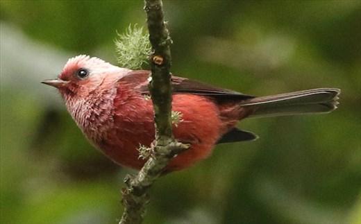 Pink-headed Warbler, Sierra Madre de Chiapas
