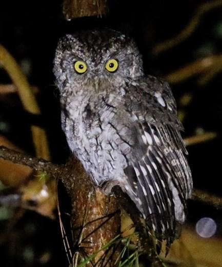 Whiskered Screech Owl, Finca de Felix
