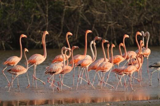 March of the Flamingos, Progresso