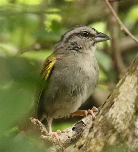 Green-backed Sparrow, Calakmul Archeological Site