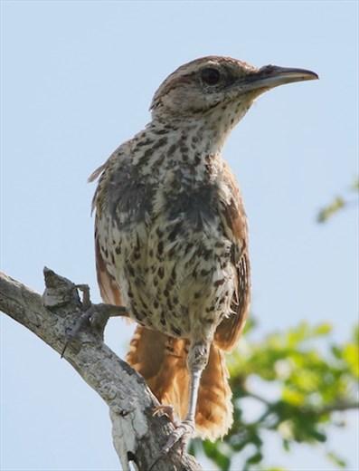 Yucatan Wren, near Rio Largatos