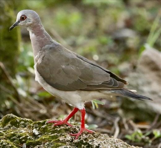 Caribbean Dove, Isla Cozumel