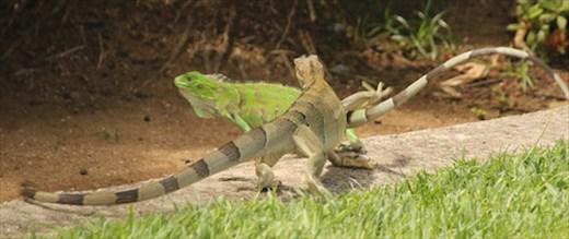 A little Jurassic Park, Port Oranjestad, Aruba