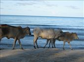 Cows at Sihanoukville: by gregorboyd, Views[251]