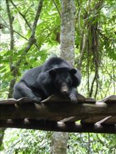 A captive Sun Bear at Kouang Si waterfall.  I hate captive animals, but these were rescued from a life of bile extraction...so I suppose we can handle it.: by gretch_costa, Views[159]