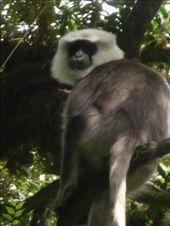 The oft-present Langur monkey: by gretch_costa, Views[174]