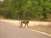 A baboon crossing the road: by gscottie, Views[377]