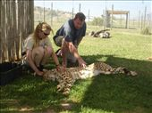 Petting a (hopefully) sleeping cheetah in South Africa: by gscottie, Views[285]