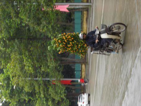 Hanoi orange tree transport for Tet