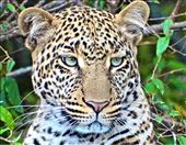 This young female leopard had her leering eyes on a small herd of wildebeest.: by guyfentonphotography, Views[76]
