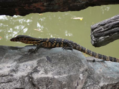 Escapee iguana (?)