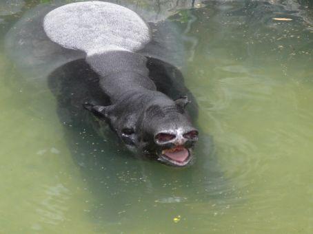 Tapir cooling off at Dusit Zoo