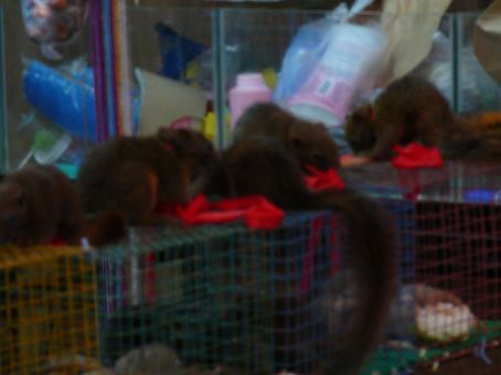 Baby squirrels for sale at Jatujak Market