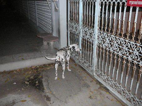 My Thai Dalmatian!  (Not as beautiful as Olli)