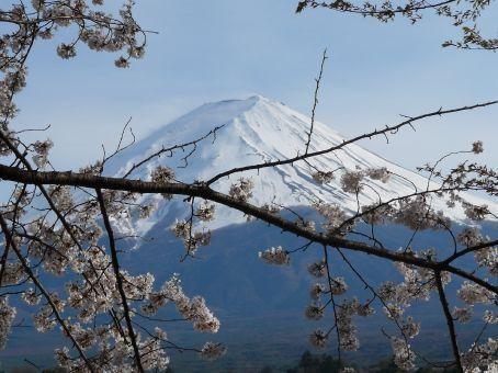 Cliche: Mount Fuji & Sakura.  Lake Kawaguchi, Fuji Go Ko