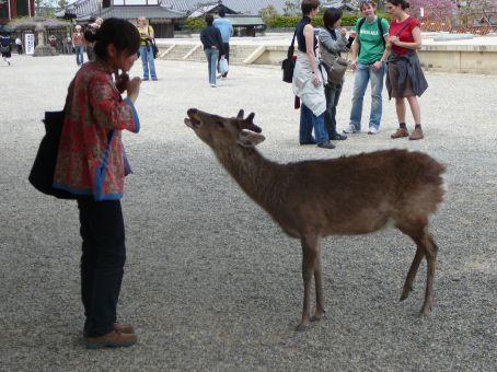 Feeding deer/shika at Narakoen.  Nara