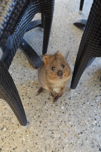 Making friends with a Quokka on Rottnest Island