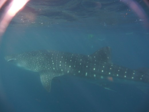 An 8m Whale Shark!! (Difficult to fit it all in a photo without being so far away that its too murky!)