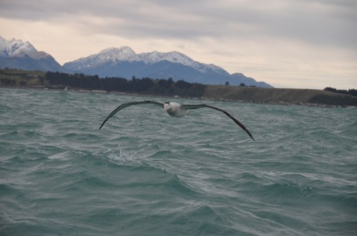 Albatross in flight