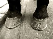 Each horse has a number engraved onto its front left hoof. Like nailing in a shoe, it doesn't hurt, but PETA has had things to say about the work conditions at Central Park. Typically, a New York cab horse pulls up to four times its own weight in the carriage behind it, no easy task on a 43ºC day.: by harrietrileynyc, Views[1552]