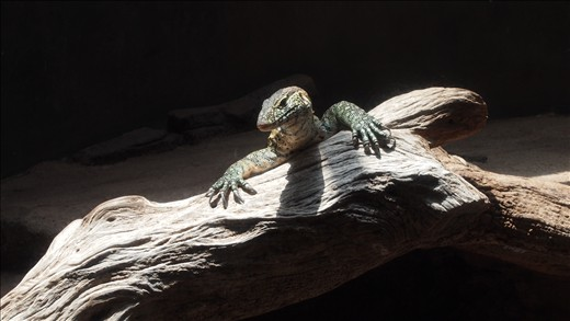 A dragon lizard wonders where that sound came from