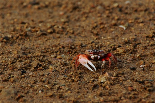 Fiddler Crab. One of the 100 species that exist in the world. A reclusive creature, cleans the ground from organic matter. The male is distinctly recognized by its asymmetric claws, one claw is larger than the other.