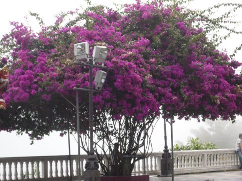 A Bougainvillea tree
