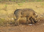 And now the beautiful-looking warthog : by helen_in_africa, Views[235]