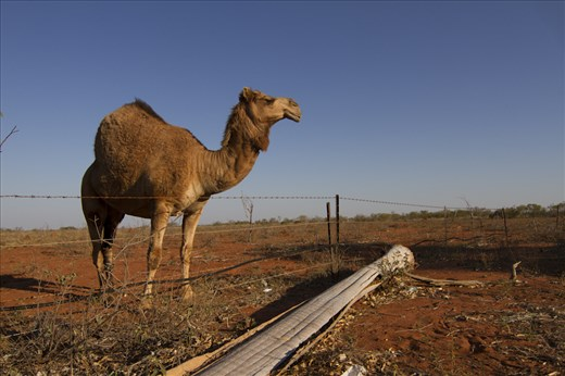 Camels were introduced in Western and Central Australia in 19th century .