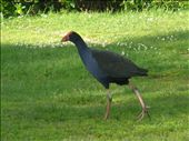 Pukeko - cool wading birds with very cute chicks: by hellie_and_bracey, Views[442]