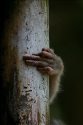 The macaque male tried to hide with hands expressing and telling a immense story: by hemant_tripathi, Views[398]