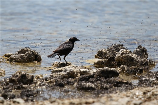 Feeding Frenzy: The lake's high salt content supports billions of alkali flies, providing food for many species of animal, including this Brewer's Blackbird.