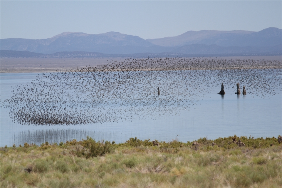 Resilient Abundance: Despite threats of overuse, this inland sea continues to provide valuable resources to vast migrations of birds like this undulating flock of Wilson's Phalaropes.