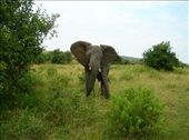 Elephant that we ran head into as we rounded a corner and came around a tree.  Our Driver/Guide Isaac was a little freaked out - but it made for some awesome pictures.: by hnmenk, Views[2194]