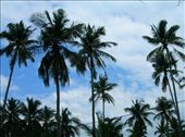 these amazingly beautiful palm trees were in view every direction you looked all over the island: by hnmenk, Views[232]