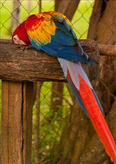 Las Guacamayas -The Scarlet Macaw: by holdensontheroad, Views[183]