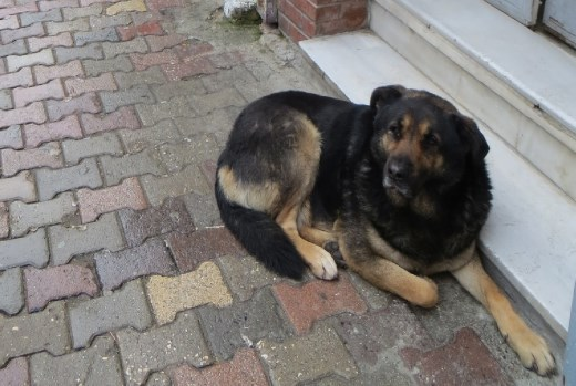 A Black Bear somehow mated with an Alsatian.