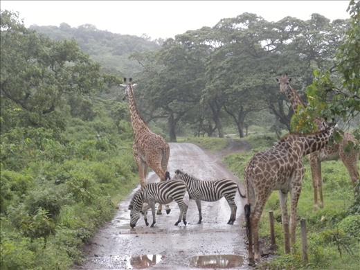so cute-  baby zebras following the giraffe