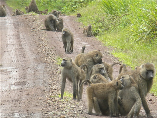 Baboons- they scare me. :)