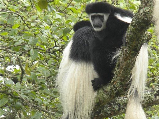Black and White monkey- very rare to see and I saw MANY!