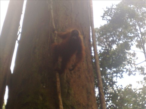 first orangutan encounter
