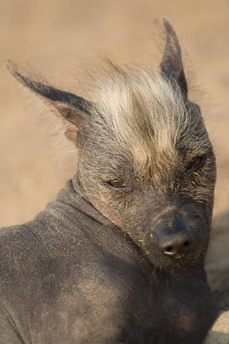 A peruvian hairless dog. Yeah, it's a little ugly, but don't tell a peruvian person that.