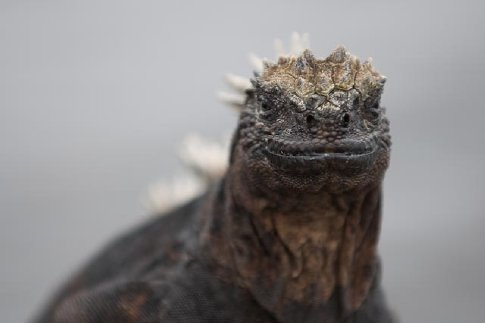 Marine iguanas. These little (and some not so little) guys came swimming with us a few times.