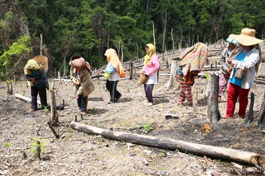 Women from Muara Mea sow rice seeds in the field. They live from farming by utilizing shifting cultivation. But they will  not return for farming in the same place before the land back into forest. However, Muara Mea villagers who live outside of protected forest areas of Lampeong-Gunung Lumut always keep their activities away from the sacred area.