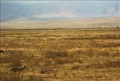 A black backed jackal crosses Ngorongoro crater.: by ianh83, Views[195]